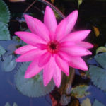 Beauty of a water Lily