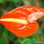 Red Anthuriums (Wordless Wednesday linky)