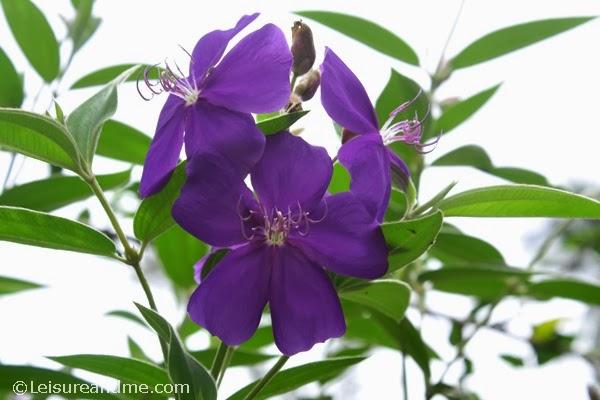 purple flowers from Sri Lanka