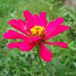 Smiling Zinnias from Sri Lanka and WW Linky