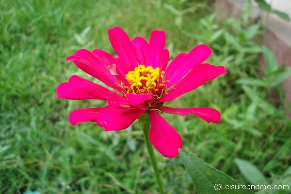 Smiling Zinnias from Sri Lanka