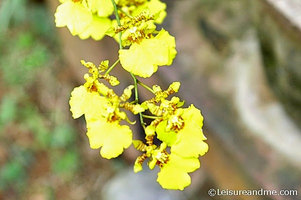 Kandyan Dancer Orchid-Dancing Lady Orchids