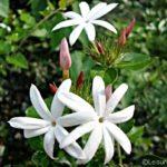 Pretty Wild Jasmine Flowers