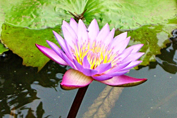 Nil Manel Flowers from Sri Lanka (Blue Lotus)
