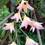 Beautiful Orchid from Sri Lanka