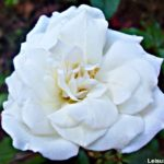 White Roses and Wordless Wednesday