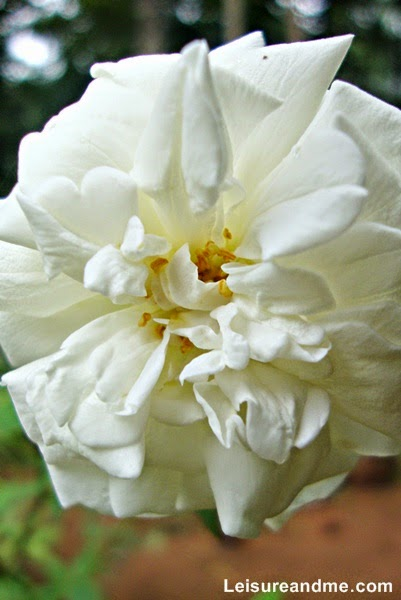White Roses from Sri Lanka