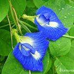 Blue Pea Flowers -Nil Katarolu