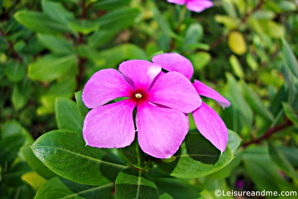 Purple flowers from Ang Mo Kio Garden West
