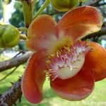 Sal Mal -Cannonball Tree Flowers+linky