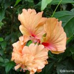 A Tale of a Hibiscus Flower