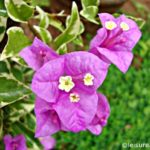 Bougainvillea Flowers+ linky