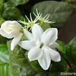 Jasmine Flowers (Pichcha Flowers)
