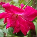 Gorgeous in Red – Flowers from Sri Lanka
