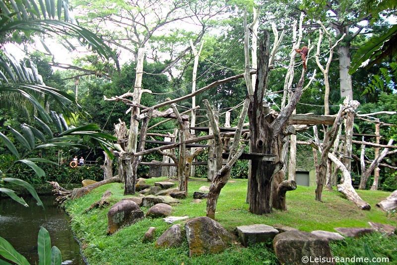 orangutan-Singapore-Zoo