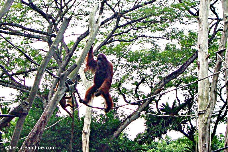 Singapore-Zoo-16