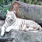 A Day at the Singapore Zoo