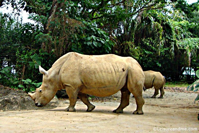 Rhinoceros at the Singapore Zoo