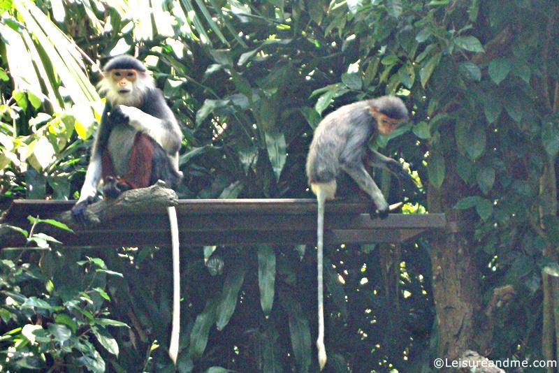 Monkeys-at-the-Singapore-Zoo
