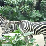 Wild Africa in Singapore Zoo