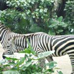Wild Africa in Singapore Zoo