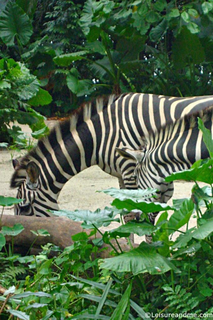 Singapore-Zoo-Wild-Africa-Zone
