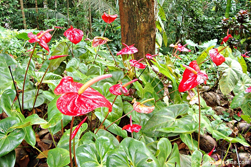 Red Anthuriums from Sri Lanka