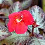 Flame Violet Flowers from Sri Lanka