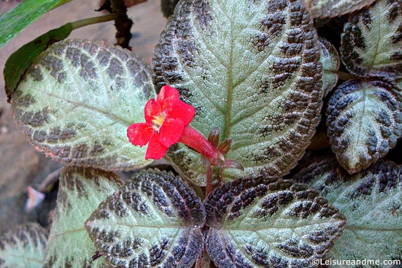 Flowers-from-Sri-Lanka-Episcia-reptans
