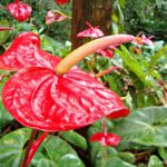Red Anthurium Flowers  from Sri Lanka