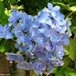 Photo Friday-Pretty Blue Flowers