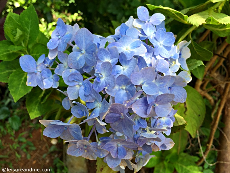 Photo Friday Pretty Blue Flowers