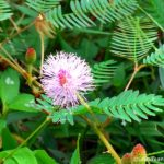 Photo Friday – Mimosa Flowers
