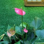 Lady Jane Anthurium Flowers
