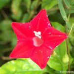 Sri Lanka Flowers – Flowers Bright in Red