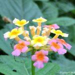 Smiling Gandapana Flowers – (Lantana Flowers)