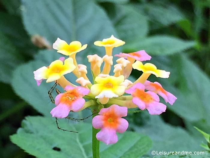 Smiling Gandapana Flowers