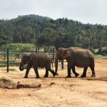 Pinnawala Elephant Orphanage – Is it a Must Visit in Sri Lanka?