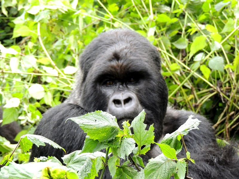 Planning a Gorilla Safari Trek