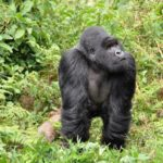 Guide to Planning a Gorilla Safari Trek for your Family
