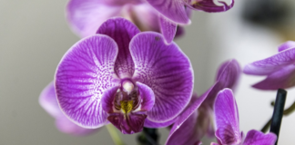 Orchids Flower Delivery